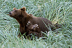 Alaskan Brown Bear (Ursus arctos) with cub playing in Southeast, AK