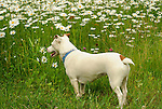 Emma, Jack Russell terrier, looking at daisies...............................................