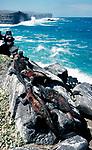 Marine Iguana, Basking on rocks by coastline, Galapagos, Ecuador