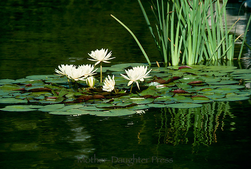 Blooming white water lilies floating on pond, Missouri USA