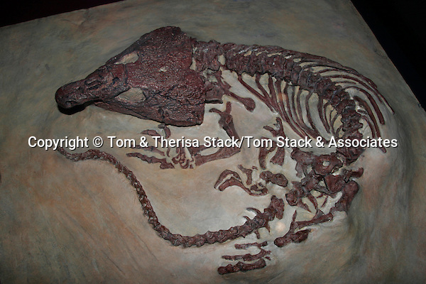 Labidosaurus sp., Permian, 260 million years, Texas (cast)