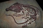 Labidosaurus sp., Permian, 260 million years, Texas (cast)