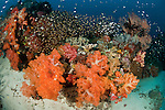 Golden sweepers (Parapriacanthus ransonneti)  in the reef with colourful soft and fan corals.