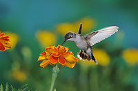 Black-chinned Hummingbird (Archilochus alexandri), female in flight feeding on flower, New Mexico, USA