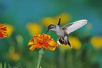 Black-chinned Hummingbird (Archilochus alexandri), female in flight feeding on flower, New Mexico, USA