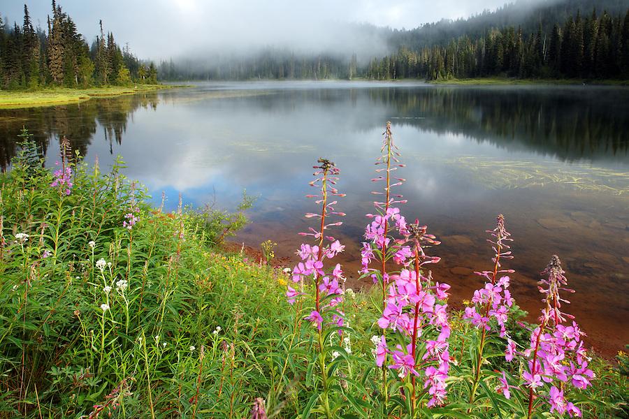 Fireweed along shore of Reflection Lake, Mount Rainier National Park, Washington, USA