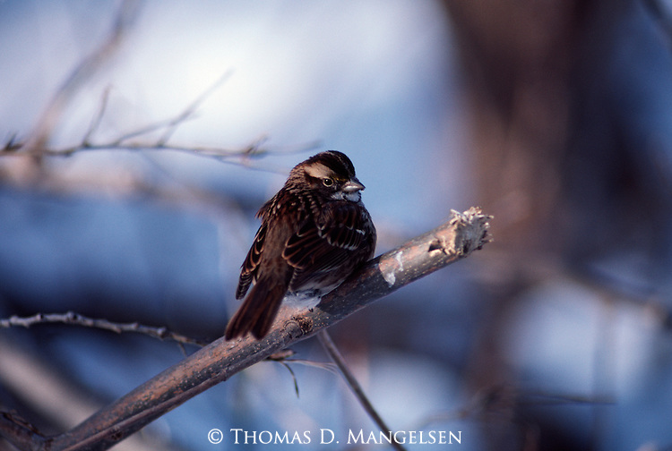 Lapland Longspur perched in a tree.