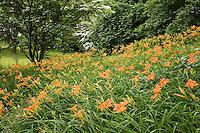 daylilies, Arnold Arboretum, Boston, MA