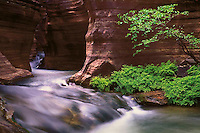 Deer Creek drains out of ancient upper canyons through a narrow 30 foot slot and bursts out the Grand Canyon wall plunging 200 feet down to the Colorado River. This small Redbud tree managed to take hold in the sandy eddy and grow.
