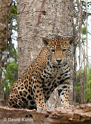 0522-1110  Goldman's Jaguar, Belize, Panthera onca goldmani  © David Kuhn/Dwight Kuhn Photography
