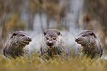 Trio of otters having a chat on the riverbank