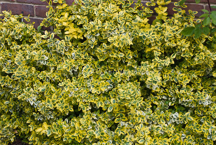 euonymus fortunei emerald n gold variegated bush plant. Black Bedroom Furniture Sets. Home Design Ideas