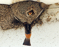 Adult cliff swallow flying to nest and waiting baby