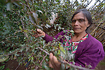 Maria Luisa Mauricio Perez cares for cherry trees on her farm in San Luis, a small Mam-speaking Maya village in Comitancillo, Guatemala. Women in the community have organized to work together on several agricultural and animal raising projects, with help from the Maya Mam Association for Investigation and Development (AMMID).