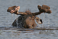 "#M11 ""Mohawk Moose"""
