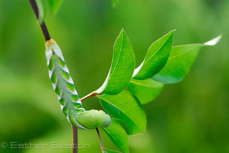 Australasian Privet Hawk Moth caterpillar (Psilogramma casuarinae often mistaken for Psilogramma menophron).Fam. SPHINGIDAE.8 cm long, summer (February) 8 cm long feeding on Wonga Wonga Vine, southeastern Australia