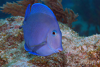 Fishes-Bony_Osteichthyemy_Caribbean & Gulf