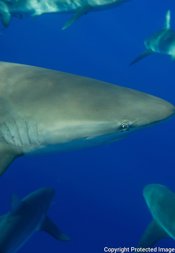 Images of sharks around Hawaiian waters.<br />