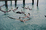 Group of brown pelican search for food near a pier in the Florida Keys.