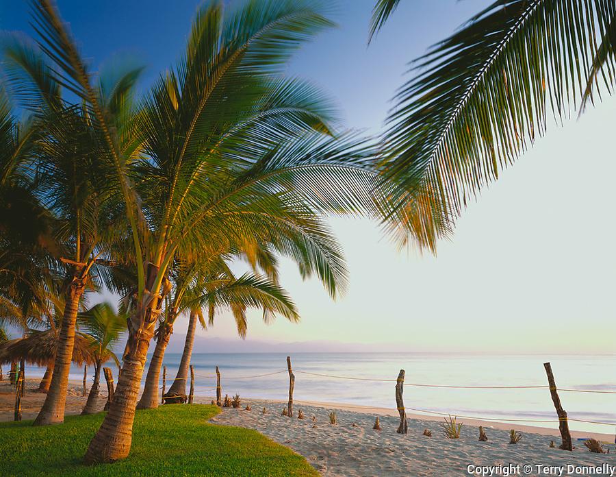 Nayarit, Mexico<br /> Coconut Palms (Cocos nucifera) in late afternoon light, on the beach of Bahia de Banderas (Banderas Bay) near the village of Bucerias