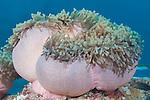 Maamendhoo Giri, Maamendhoo Island, Laamu Atoll, Maldives; a pink Magnificent Sea Anemone