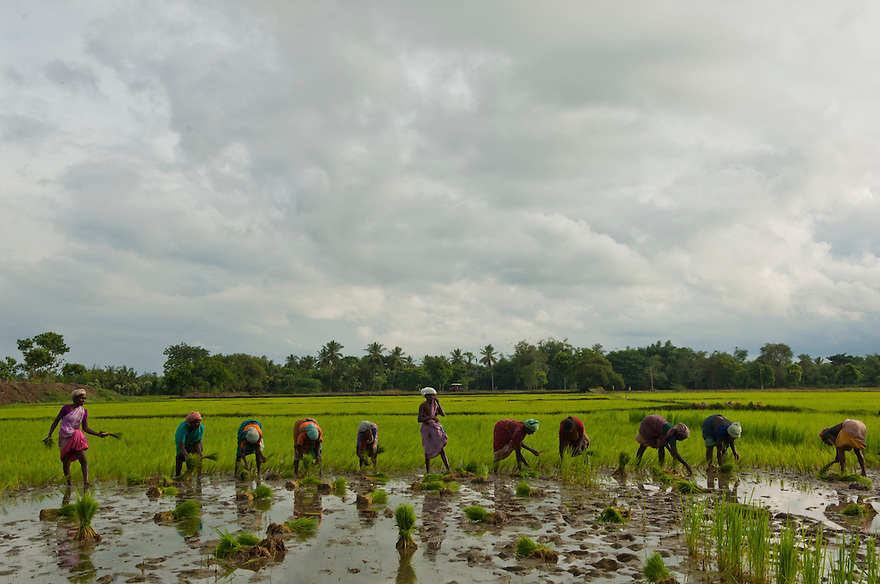 Indian women works in a paddy field in the Cuddalore district of the Southern Indian state of Tamil Nadu on the 30th of October 2010.