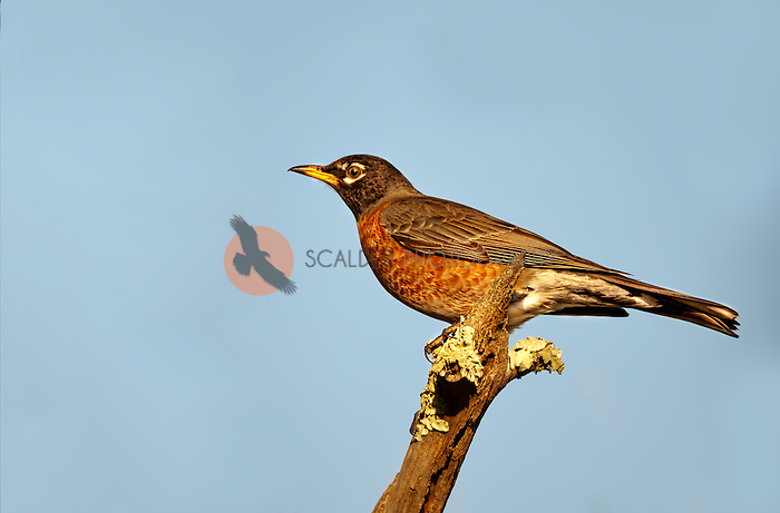 Female American Robin perched on branch against blue sky