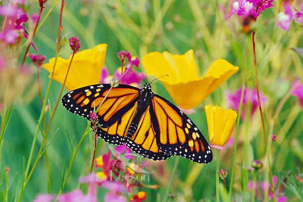 Monarch butterfly (Danaus plexippus) resting on California poppy.