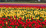 Skagit County, WA: Rows of red and yellow tulips blooming in spring