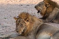 africa, Zambia, South Luangwa National Park, lion portrait