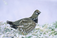 Spruce grouse in snow covered spruce tree, Denali National Park, Alaska