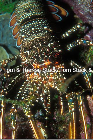 Spotted Lobster, Florida Keys