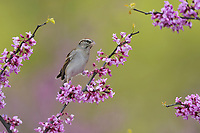 Chipping Sparrow (Spizella passerina), adult perched on blooming Eastern Redbud (Cercis canadensis),Hill Country, Central Texas, USA