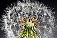 Dandylion Seeds Study