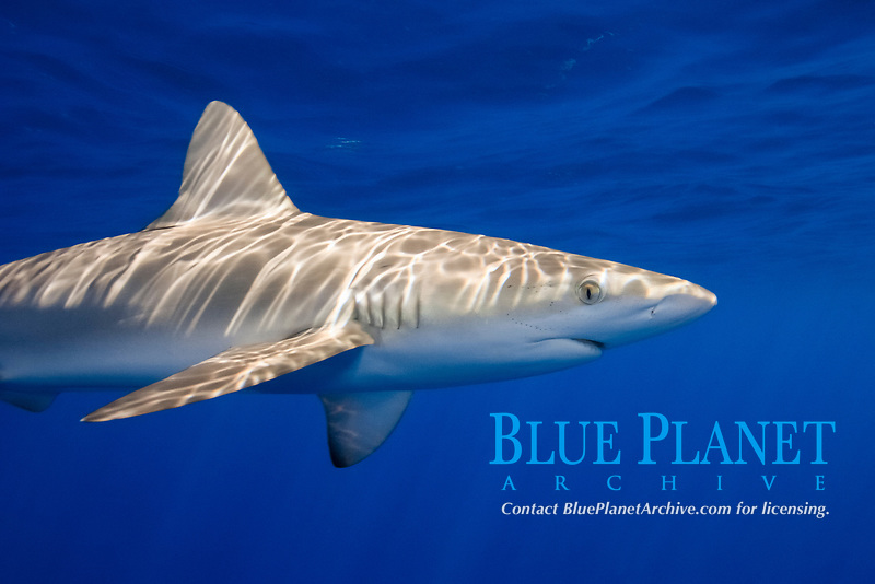 dusky shark, Carcharhinus obscurus, Chichi-jima, Bonin Islands, Ogasawara Islands, UNESCO Natural World Heritage Site, Tokyo, Japan, Pacific Ocean