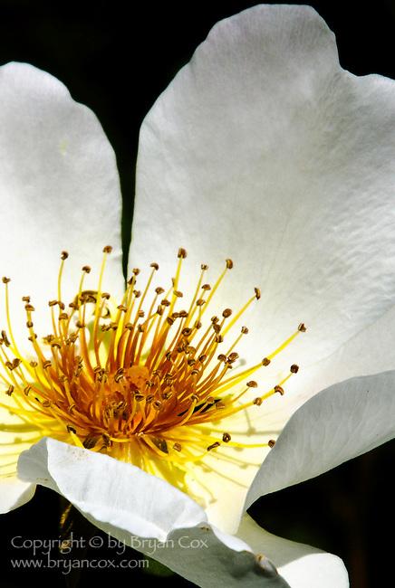 White rose, Portland Rose Garden, Oregon