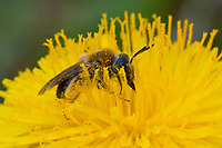 Rotschopfige Sandbiene, Rotfransige Sandbiene, Rotschwanz-Sandbiene, Sand-Biene, Sandbiene, Wildbiene, Weibchen, Andrena haemorrhoa, syn. Andrena albicans, mining bee, Andrenidae, Sandbienen, female, mining bees, burrowing bees, mining bee, burrowing bee, Blütenbesuch an Löwenzahn, Taraxacum officinalis