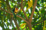 Collared aracari, Pteroglossus torquatus. Wild, in a tree at Zoo Ave, a zoo near San Jose, Costa Rica, specializing in native birds.