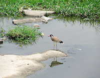 Lapwing standing in lake with its reflection in water.