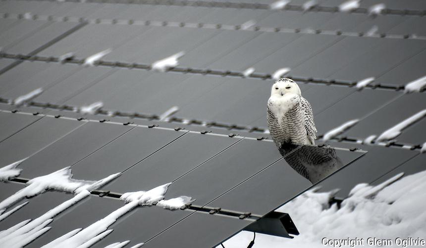 Snowy owl perched on solar panels at the Sarnia Solar Farm, on Blackwell Sideroad.