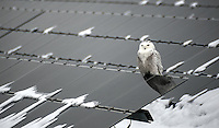 Snowy owl perched on solar panels at the Sarnia Solar Farm, on Blackwell Sideroad.