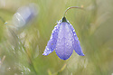 Harebell (Campanula rotundifolia) coated in morning dew. Peak District National Park, Derbyshire, UK. July.