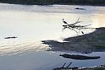 Yala National Park Sri LankaYala National Park Sri Lanka<br /> Grey Heron, Indian Pond Heron and Crocodile