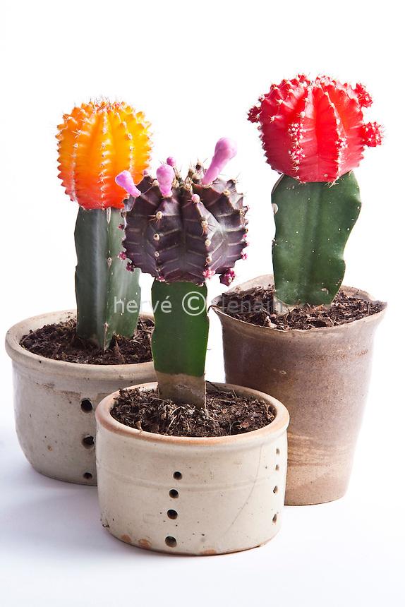 cactus greffés japonais (Gymnocalycium mihanovichii cv. japonais) // grafted cactus, Gymnocalycium mihanovichii Japanese cv.