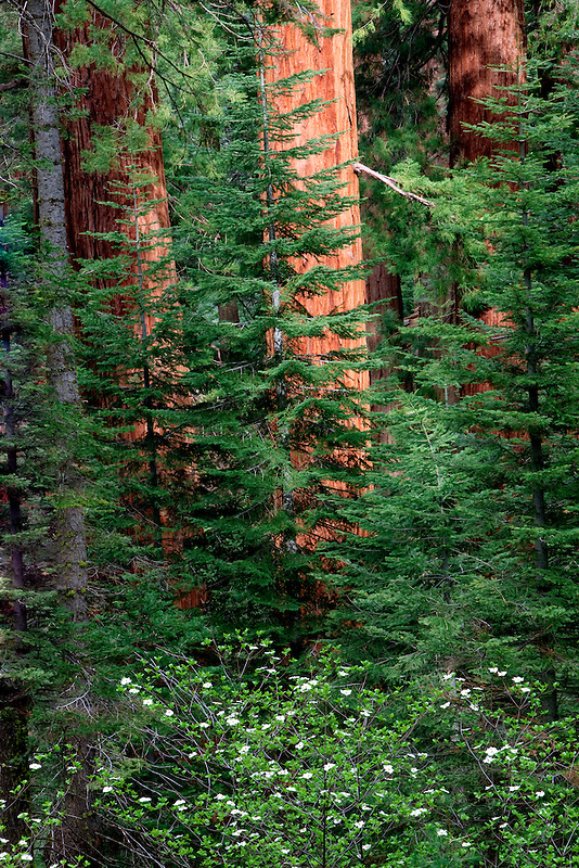Forest with Giant Sequoia Trees with blooming dogeood tree.. Kings Canyon National Park, California