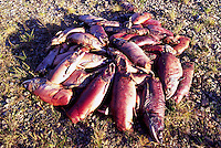 Annual Adams River Sockeye Salmon Run (Oncorhynchus nerka), Roderick Haig-Brown Provincial Park near Salmon Arm, BC, British Columbia, Canada - Pile of Rotting Dead Fish
