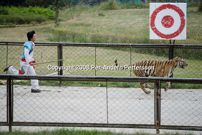 GUILIN, CHINA OCTOBER 13: An animal handler chases a tiger who escaped at a bear, tiger and animal show at Xiongsen Bear & Tiger Mountain village Theme Park on October 13, 2008 in Guilin, China. The park has over 1500 tigers and they do research but their main business is producing tiger bone vine and selling tiger parts for traditional medicine, a practice forbidden by the government and condemned by international governments. Visitors can see different shows such as tigers that are fed live animals such as pigs and bulls. Tigers and Bears are used in different shows where bears ride on bicycles, rides horses and tigers. Chinese people love theme parks and new ones are opening constantly. It's estimated that there's about 2400 theme parks in the country. (Photo by Per-Anders Pettersson) .