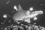 Cocos Island, Costa Rica; a Scalloped Hammerhead Shark (Sphyrna lewini) being cleaned by several Barberfish (Johnrandallia nigrirostris) at a cleaning station on the rocky reef