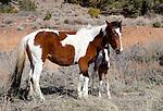 Wild horses near Reno, NV