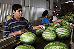 Des adolescents travaillent aussi dans l'usine d'emballage de pasteques, en Caroline du Nord, juillet 2012. Even teenagers spend their days working at the watermelon factory, in North Carolina, july 2012.